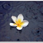 Friday Photo 18: Plumeria on a Pool